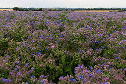 Fields of blue borage flowers near Epping in Essex create a striking display of colour and are attractive to bees, essential to maintaining biodiversity. Borage is grown for its oils the same essential fatty acid – gamma linoleic acid, or GLA, better known as evening primrose oil. Epping, Essex, July 17 2019.