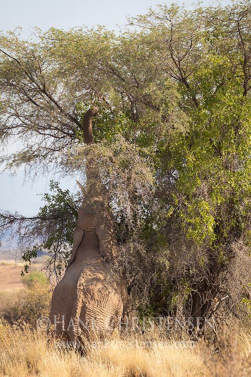 A desert-adapted African bush elephant reaches its trunk to the top of a tree to get green leaves, Twyfelfontein, Namibia.