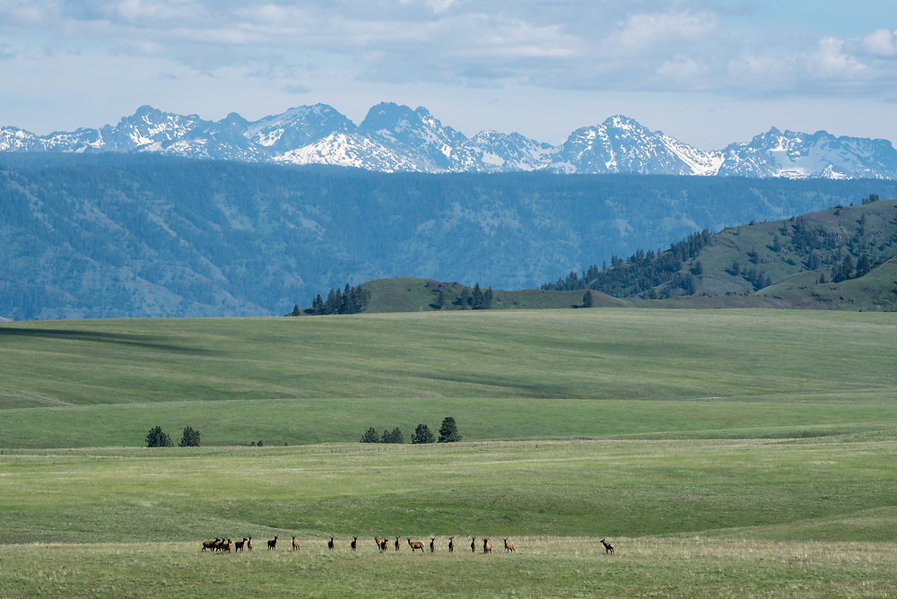 Elk herd on Oregon's Zumwalt Prairie with the Seven Devils Mountains of Idaho in the distance.