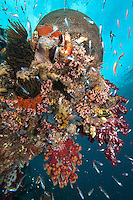 Anthias and Sweepers feed amongst healthy Hard and Soft Corals<br /> <br /> Shot in Indonesia