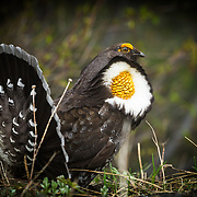 Hooting male Sooty Grouse in mating plumage, Olympic Mountains, Washington, USA.