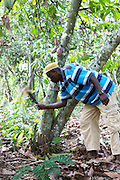 Freddy Akuffo weeding around his Cocoa trees...Freddy Akuffo has been a cocoa farmer since 1969 when he inherited his farm from his father. Since he received his training, as part of the Kraft Cocoa Partnership, Freddy has seen his yield increase from 180 bags of cocoa a year to 220.