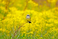 A Western Kingbird sits on a branch in the middle of a field of yellow Dyers Woad a noxious weed from the mustard family.