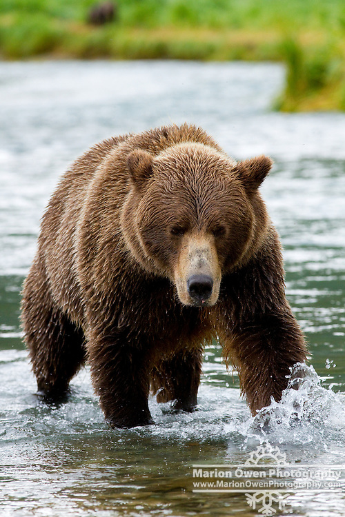 Coastal brown bear chasing salmon in Geographic Harbor, Katmai National Park, Southwest Alaska, summer