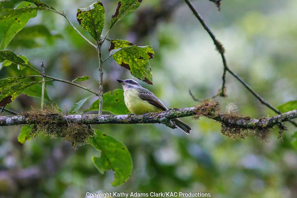 Golden-crowned flycatcher, Myiodynastes chrysocephalus, Inkaterra Machu Picchu; Inkaterra Machu Picchu Pueblo Hotel; Myiodynastes chrysocephalus; Peru, Augas Calientes;