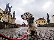 """English Setter """"Rudy"""" besucht am 23.03. 2018 die Karlsbrücke in Prag. Rudy wurde Anfang Januar 2017 geboren und ist vor einiger Zeit zu seiner neuen Familie umgezogen."""