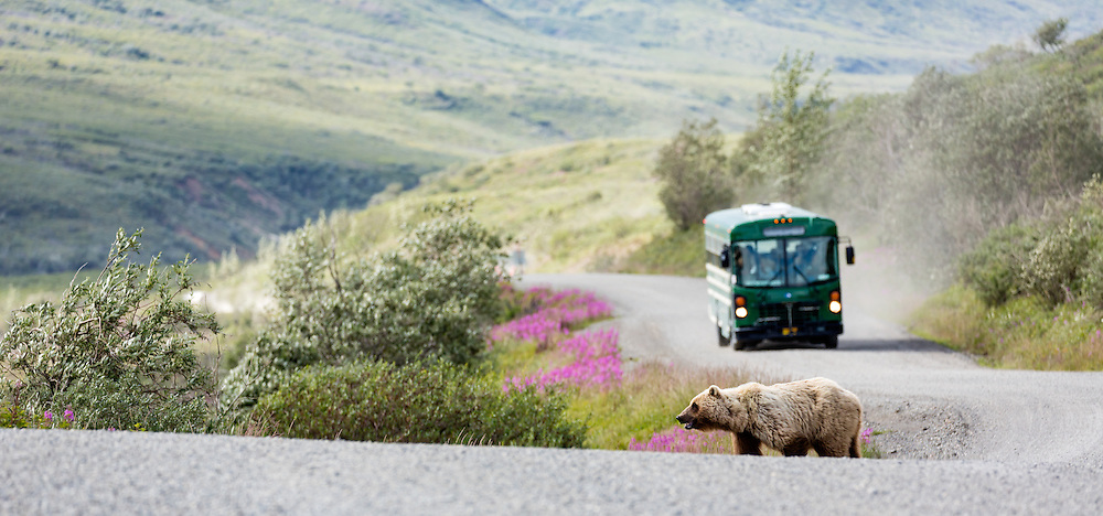 Grizzly Bear (Ursus arctos) walks in front of tour bus at Sable Pass in Denali National Park in Southcentral Alaska. Summer. Afternoon.