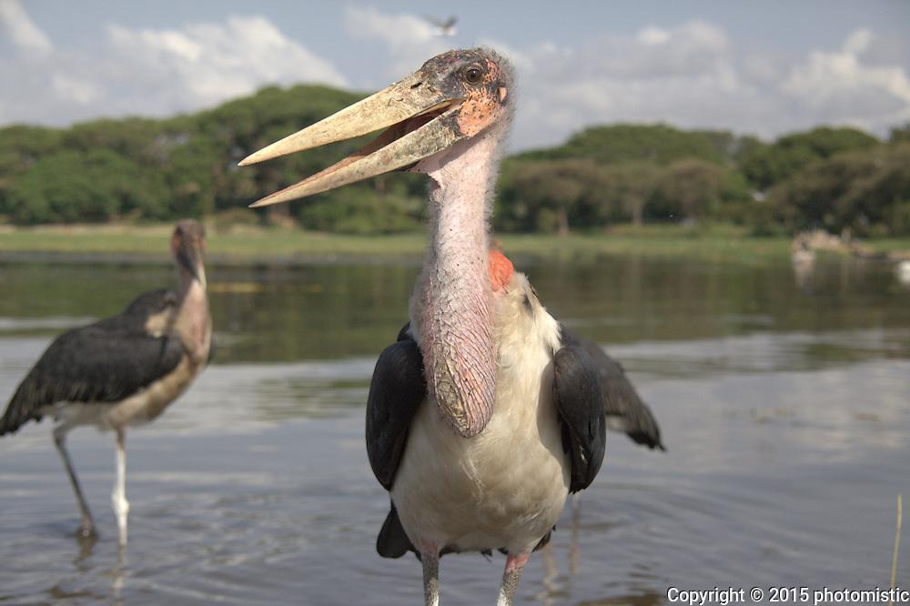 Marabou stork - Lake Awassa