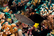 Speckled Wrasse, Anampses meleagrides, Valenciennes, 1840, Maldives