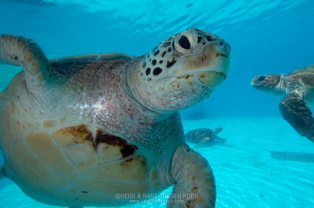 JPN, Japan: Okinawa Churaumi Aquarium, Unechte Karettschildkroeten (Caretta caretta), Ocean Expa Park, Okinawa, Okinawa | JPN, Japan: Okinawa Churaumi Aquarium, Loggerhead Sea Turtles (Caretta caretta), Ocean Expo Park, Okinawa, Okinawa |