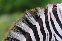 Deatil of a Burchells Zebra mane, Addo Elephant National Park, Eastern Cape, South Africa