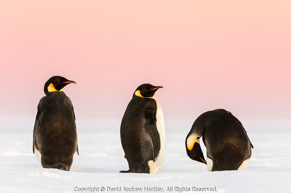 Three Emperor Penguins (Aptenodytes forsteri) with a pink sunset sky, Weddell Sea, Antarctica