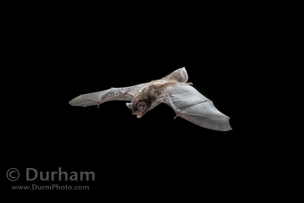 A silver-haired bat flying streamside of Drake Creek in the high desert of Central Oregon. Lake County.