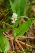 Canada Mayflower - Maianthemum canadense