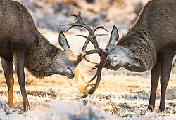 © Licensed to London News Pictures. 25/11/2017. London, UK. Stags lock horns in a frost covered landscape at Bushy Park, London at sunrise on November 25, 2017 as a drop in temperatures hits the UK. Photo credit: Peter Macdiarmid/LNP