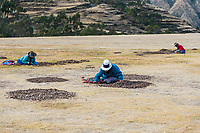 Chincheros, Peru - July 23, 2013: women collecting moraya at Chincheros town in the peruvian Andes at Cuzco Peru on july 23, 2013