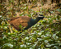 Bronze-winged Jacana. Bharatpur-- Keoladeo Ghana National Park, Rajasthan, India. Image taken with a Nikon 1 V3 camera and 70-300 mm VR lens.