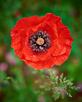 Red Poppy Flower in my Wildflower Garden. Image taken with a Nikon D810a camera and 60 mm f/2.8 macro lens