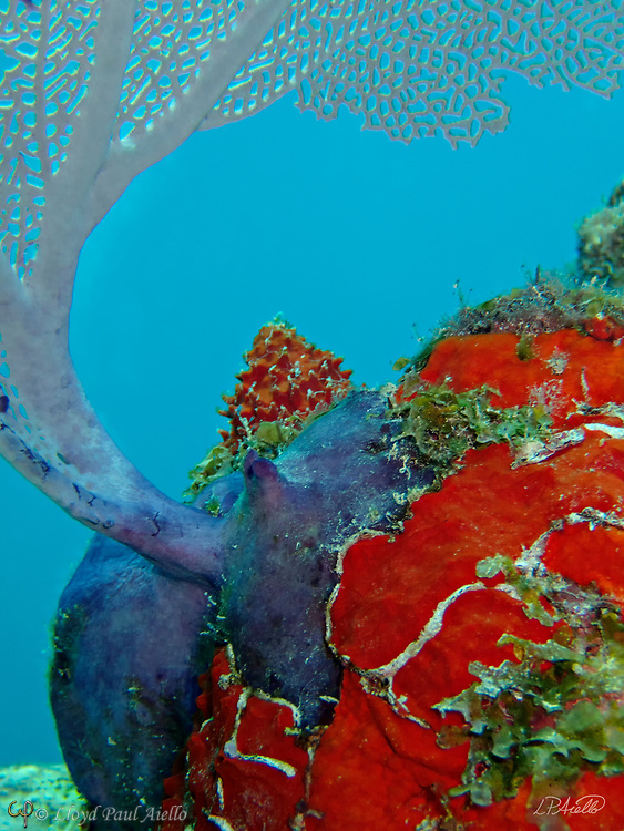 "A purple Sea Fan (Gorgonia ventalina) graces the top of a coral head covered in the red encrusting sponge Clathria (Microciona) spinose at a depth of 47 feet off the Riviera Maya in the Gulf of Mexico. Although they may look like plants, both sea fans and sponges are colonial marine animals.  Sea Fans are salt water invertebrates and belong to the order Alcyonacea.  Closely related to corals, they are found throughout the tropical and subtropical oceans of the world. They mostly prefer shallow waters with constant current, but have been found several thousand feet deep.  Each gorgonian polyp has eight tentacles which catch the plankton upon which they feed.  To facilitate this ""filter feeding"", the ""fan"" is always oriented across the prevailing current to maximize the water flow and food supplied to the gorgonian. Sponges are multicellular organisms that have bodies full of pores and channels allowing water to circulate through them.  There are 5,000 to 10,000 known species of sponges.  Sponges do not have nervous, digestive or circulatory systems, relying instead on a constant water flow through their bodies to obtain food and oxygen and to remove wastes."