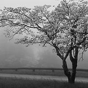&quot;Dogwood in Fog&quot; mono<br />