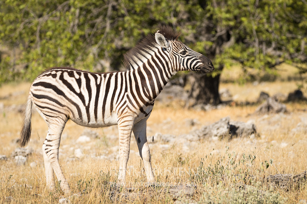 A plains zebra grazes in early morning light, Etosha National Park, Namibia.