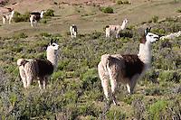 LLAMAS (Lama glama) EN LA PUNA, PROV. DE JUJUY, ARGENTINA<br /> <br /> Lama (Lama glama), Provincia di Jujuy, Argentina