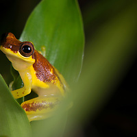Amphibians of Regenerating Rainforest