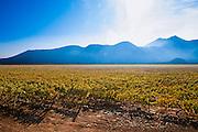 VIÑEDO QUINTA DE MAIPO DE CONCHA Y TORO UBICADO EN BUIN. Santiago de Chile, 30-04-2013 (©Alvaro de la Fuente/Triple.cl)