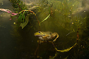 A newly morphed juvenile American bullfrog (Lithobates catesbeianus) hiding in wetland plants. Oregon.