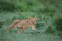 Lion cub (Panthero leo) in wet green grass, Serengeti