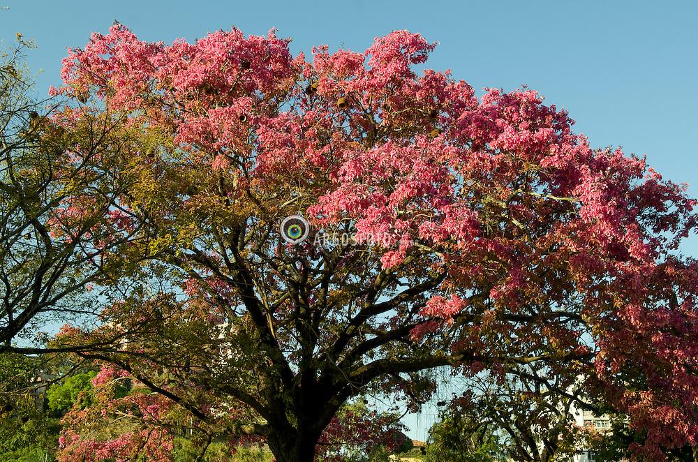 Sapucaia Florida no Parque Quinta da Boa Vista./ Blossom Sapacuia in Quinta da Boa Vista Park. Rio de Janeiro, RJ - Brasil, 2013