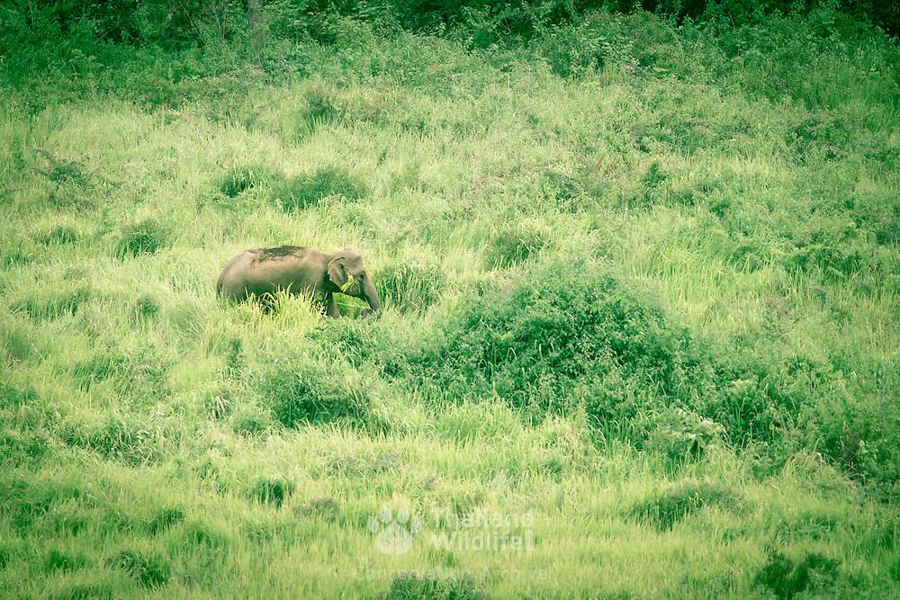 Asian or Asiatic elephant (Elephas maximus) in Khao Yai National Park, Thailand.