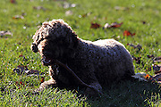 Sasha the Lagotto Romagnolo (truffle-hunting dog) chews a stick in the park