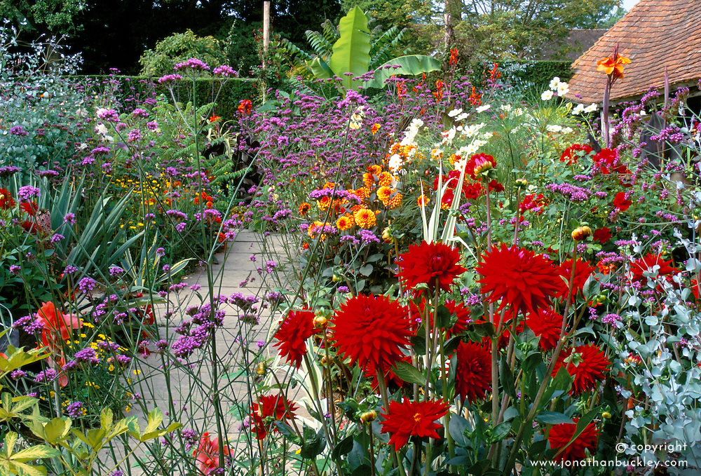 Vibrant colour in Christopher Lloyd's exotic garden at Great Dixter. Dahlia 'Wittemans Superba' and Verbena bonariensis in the foreground