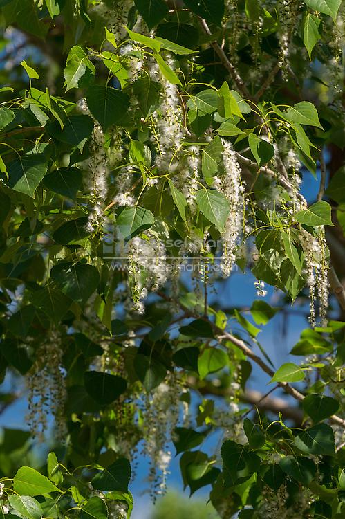 chatfield cottonwoods in bloom