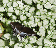 The Spicebush Swallowtail (Papilio troilus) is a fairly black swallowtail found in North America. It is the state butterfly of Mississippi. Adults can be identified by their spoon-shaped tails and by their bright green (male) or iridescent blue (female) hind-wings. Ivory spots may be visible on the forewings, and orange spots may appear on the hindwings. Wingspan may be 3 to 4 inches. The Spicebush Swallowtail is found only in the Eastern US and extreme southern Ontario, with occasional strays in the American Midwest and even Cuba. Photographed in the Woodland Park Zoo, Seattle, Washington.