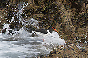 An Oystercatcher wades along the coast of Skomer Island, a National Nature Reserve in Wales, U.K..