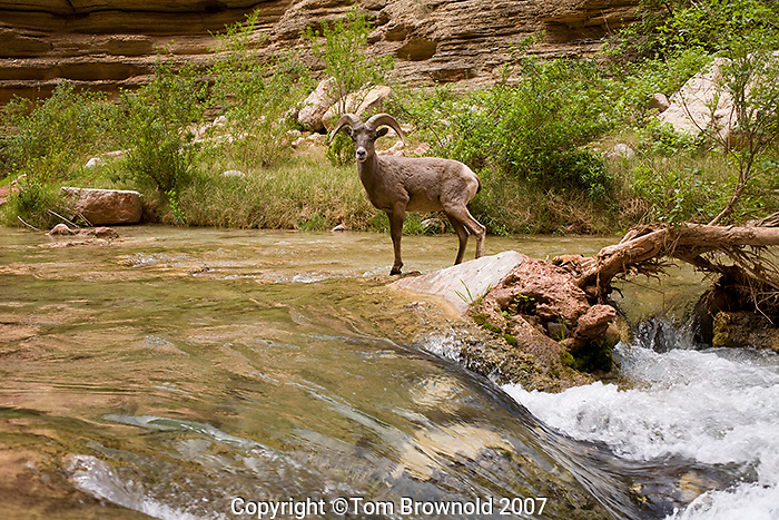 Young ram in the middle of Havasu Creek Grand Canyon