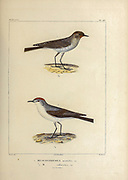 hand coloured sketch Top: Subspecies of Dark-faced Ground Tyrant (Muscisaxicola maclovianus mentalis [Here as Muscisaxicola mentalis]) Bottom:  rufous-naped ground tyrant (Muscisaxicola rufivertex) From the book 'Voyage dans l'Amérique Méridionale' [Journey to South America: (Brazil, the eastern republic of Uruguay, the Argentine Republic, Patagonia, the republic of Chile, the republic of Bolivia, the republic of Peru), executed during the years 1826 - 1833] 4th volume Part 3 By: Orbigny, Alcide Dessalines d', d'Orbigny, 1802-1857; Montagne, Jean François Camille, 1784-1866; Martius, Karl Friedrich Philipp von, 1794-1868 Published Paris :Chez Pitois-Levrault et c.e ... ;1835-1847