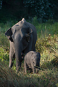Asian elephant & baby (Elephas maximus) domestic used for park guard patrols<br /> Nameri Wildlife Reserve<br /> Assam<br /> North East India