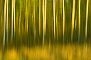 Aspen trees in motion at sunset