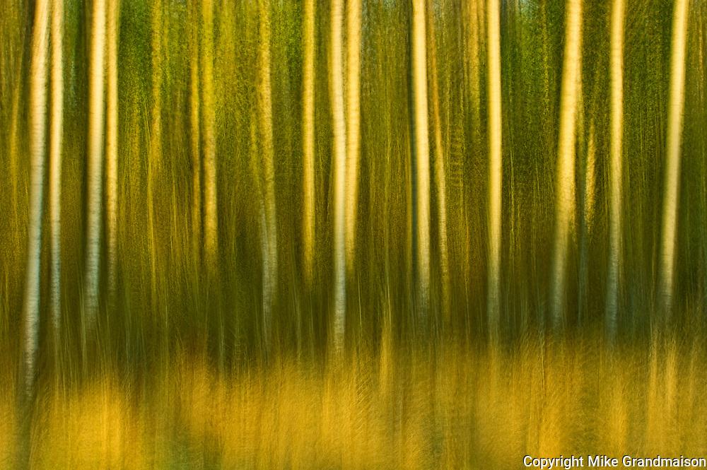 Aspen trees in motion at sunset