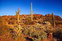Cactus, Gold Canyon, Arizona USA