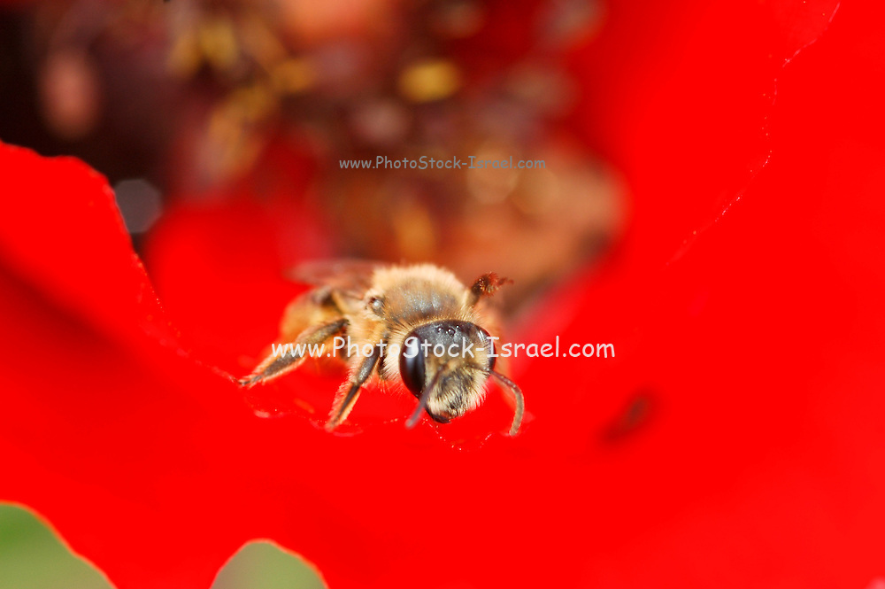 Extreme Close up of a honey bee collecting nectar from a flower