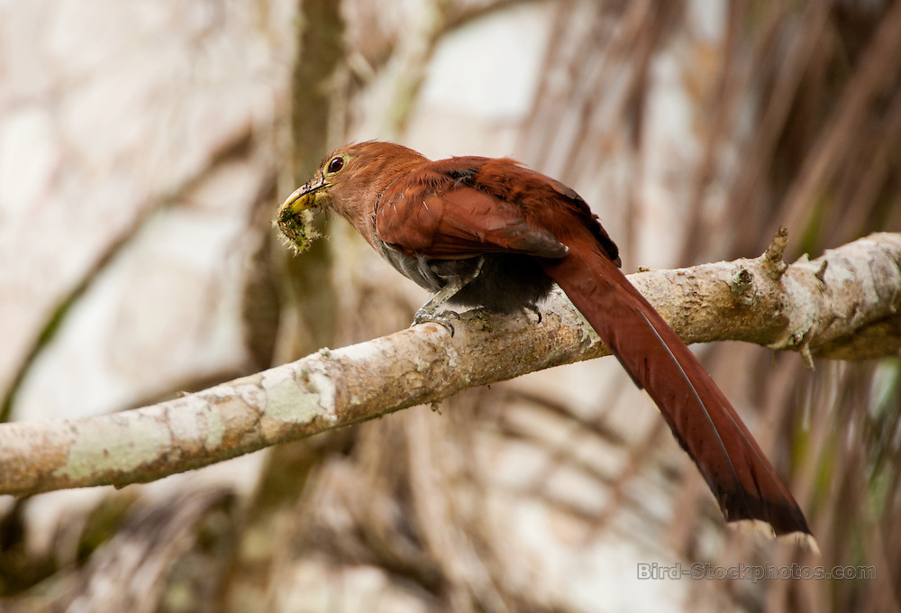 Squirrel Cuckoos, Piaya cayana, Panama, by Owen Deutsch