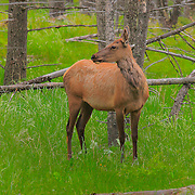 Young Elk Close View - Lamar Valley - Yellowstone National Park