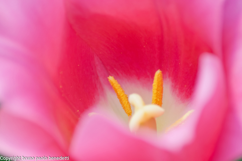 Dream atmosphere inside a tulip. Warm red color dominant with pink shades out of focus give a soft atmosphere. Yelllow pistils emerging like from a fog, given by petals out of focus.
