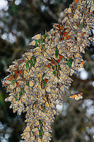 Monarch Butterflies [Danaus plexippus] during winter migration, clustering on tree branches inside forest grove; Pismo Beach, CA