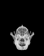 Front View X-ray of a skull of a wolf on black background