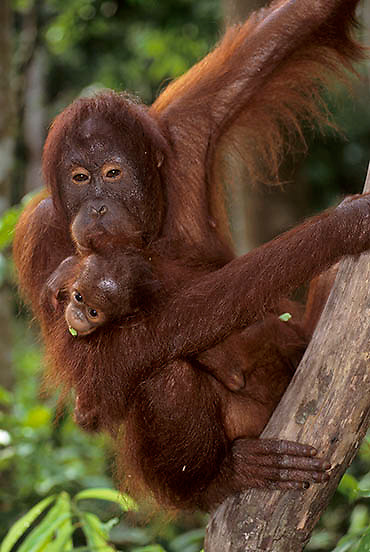 Orangutan (Pongo pygmaeus) Mother and baby in tropical forest of Northern Borneo. Malaysia. Controlled Conditons.